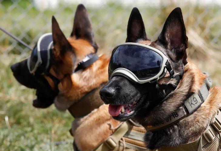 Estudo alemão diz que Cães farejadores identificaram corretamente 94% das amostras de secreção de pessoas com Covid-19