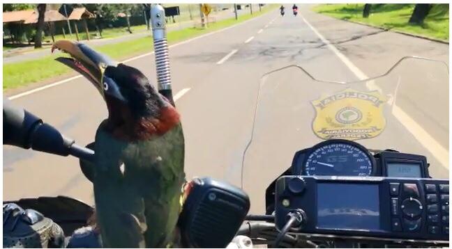 """Tucano """"pega carona"""" em motocicleta da PRF em Foz do Iguaçu. (Veja o vídeo)"""