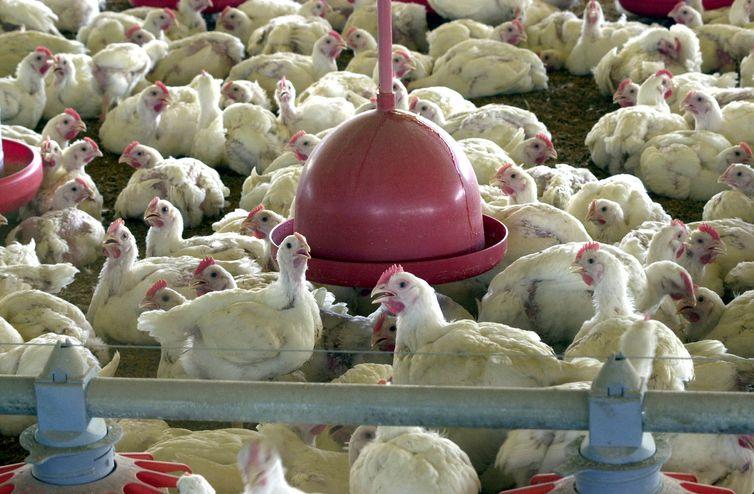 Ministério cobra explicações da China sobre frango supostamente contaminado