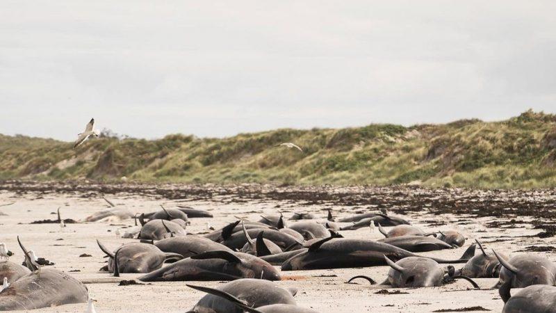 Quase 100 baleias morrem encalhadas na Nova Zelândia