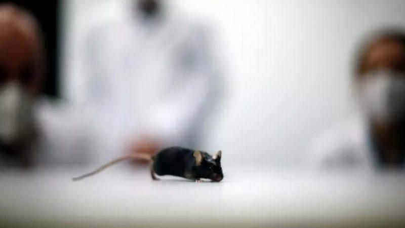 Cientistas alemães fazem camundongo com paralisia andar novamente