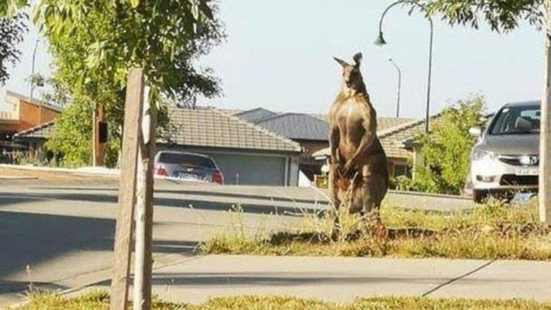Canguru 'marombado' assusta moradora em cidade tranquila