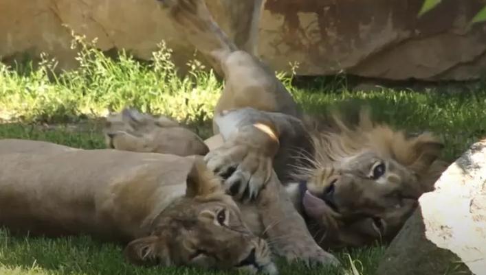 Gorila perde apetite e leões passam a tossir após pegarem Covid em zoológico