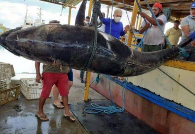 Atum azul de 400 kg é pescado na costa do Rio Grande do Norte