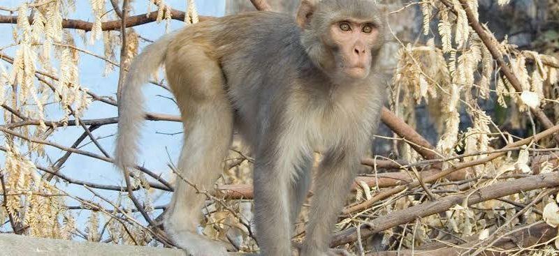 China registra 1ª morte de humano devido a vírus raro de macaco