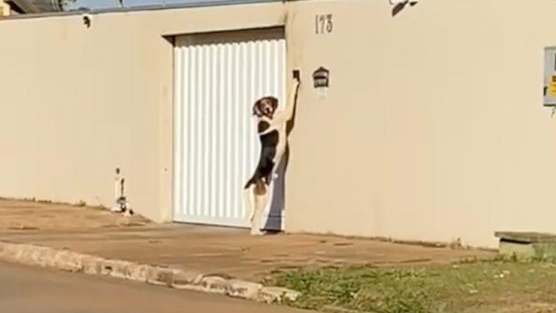 Cão toca campainha para entrar em casa e surpreende donos: 'Pensava que era um fantasma', VEJA VÍDEO