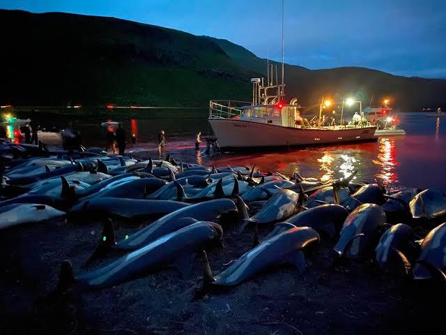 'Ritual': Massacre de 1.500 golfinhos num único dia choca o mundo