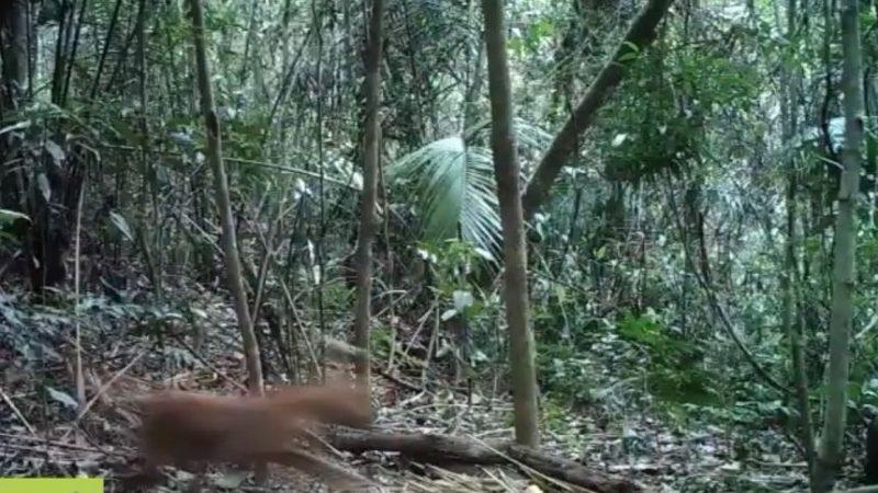 Após 80 anos, exemplar de onça-parda volta a ser visto no Rio de Janeiro