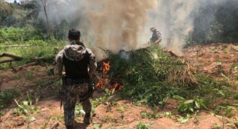 PF queima 85 mil pés de maconha em terras indígenas no Maranhão